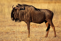 Zwart-gebaarde het meest wildebeest, de woestijn van Kalahari Stock Fotografie