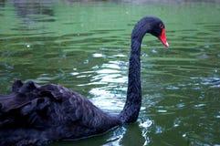 Zwart-gekleurde gansvogels die in de dierentuin zwemmen stock foto's