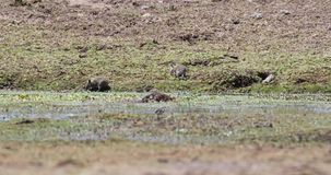 Zwart-gekrabde borstel-Bont- Rat in Weide