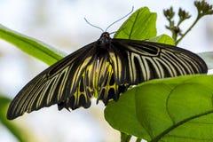 Zwart-gele Vlinder Stock Foto