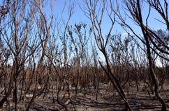 Zwart gemaakte bomen na een bushfire in Australië Stock Foto's