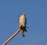 Zwart-gesteunde Vlieger (Elanus-axillaris) Stock Foto's