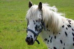Zwart gestippeld leuk paard Stock Foto's