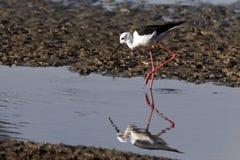 Zwart-gevleugelde Stelt - Rivier Chobe - Botswana Stock Fotografie