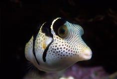 Zwart-gezadelde Toby Puffer Fish Royalty-vrije Stock Afbeeldingen