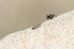 Zwart & Gouden Fluweel Ant Wasp Mutillidae Searching voor Prooi royalty-vrije stock foto's