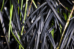 Zwart Gras Royalty-vrije Stock Fotografie