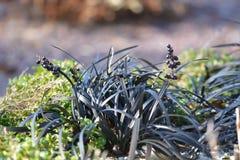 Zwart gras Stock Foto
