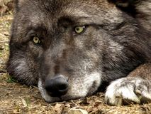 Zwart Gray Wolf Stock Afbeelding