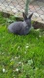 zwart grijs konijn royalty-vrije stock afbeelding