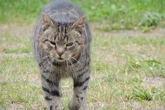 Zwart-grijze kat Stock Fotografie