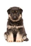 Zwart herdershondenpuppy stock afbeelding