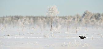 Zwart Hoen op de sneeuw Royalty-vrije Stock Afbeeldingen