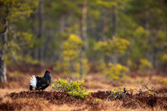 Zwart Hoen, Tetrao tetrix, lekking aardige zwarte vogel in moerasland, rood GLB-hoofd, dier in de aard boshabitat, Zweden Royalty-vrije Stock Foto's