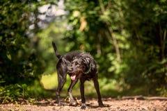 Zwart hondportret Royalty-vrije Stock Fotografie