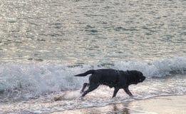 zwart hondspel met water op het strand stock afbeeldingen