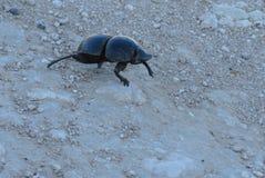 Zwart insect Royalty-vrije Stock Foto's
