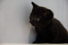 Zwart katje met blauwe ogen die omhoog eruit zien Stock Afbeelding