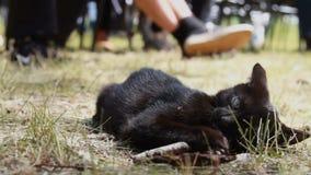 Zwart Katje Speels katje Grappig dier stock footage