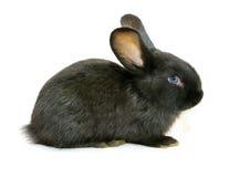 Zwart konijn royalty-vrije stock fotografie