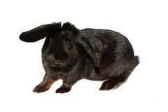 Zwart konijn Stock Foto's