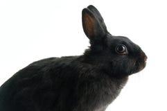 Zwart konijn Stock Afbeelding