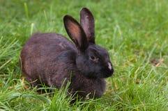 Zwart konijn Royalty-vrije Stock Foto