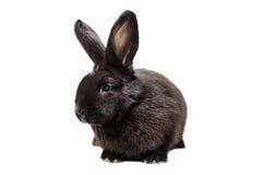Zwart konijn Stock Afbeeldingen