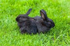 Zwart konijn Stock Foto