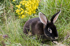Zwart konijn Royalty-vrije Stock Afbeelding