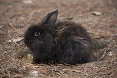 Zwart konijn die zich door pijnboomnaalden bevinden Stock Afbeeldingen