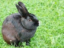 Zwart konijn in een groene weide Royalty-vrije Stock Foto's
