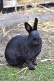 Zwart konijn in een landbouwbedrijf Stock Afbeelding