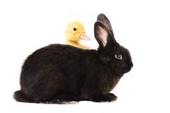 Zwart konijn en eendje Stock Fotografie