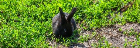 Zwart konijn in groen gras Royalty-vrije Stock Fotografie