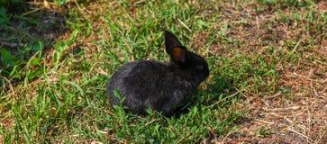 Zwart konijn in groen gras Stock Afbeeldingen