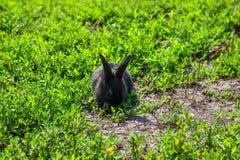 Zwart konijn in groen gras Stock Fotografie