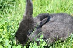 Zwart konijn in groen gras Royalty-vrije Stock Foto's