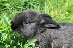 Zwart konijn in groen gras Stock Foto