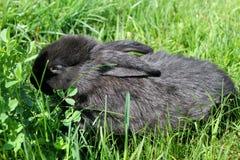 Zwart konijn in groen gras Stock Afbeelding