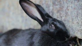 Zwart konijn, groot konijntjeskonijn stock video