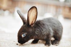 Zwart konijn met blauwe ogen Stock Foto's