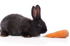 Zwart konijn met wortel Royalty-vrije Stock Foto's