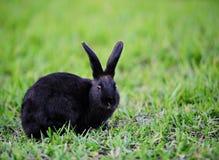 Zwart konijn op gras Stock Foto