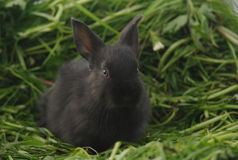 Zwart konijn op groen gras Stock Afbeelding