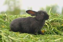 Zwart konijn op groen gras Stock Afbeeldingen