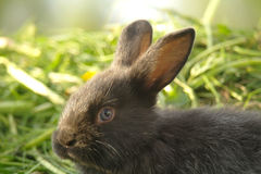 Zwart konijn op groen gras Stock Fotografie