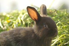 Zwart konijn op groen gras Royalty-vrije Stock Fotografie