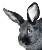 Zwart konijnportret Stock Fotografie