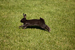 Zwart konijntjeskonijn Royalty-vrije Stock Foto's